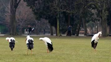 1-le-cicogne-passeggiano-nel-parco-in-mezzo-alla-gente